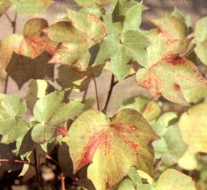 Хлопчатник мохнатый (Gossypium hirsutum L.)