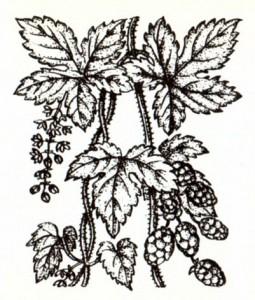 Хмель обыкновенный (Humulus lupulus L.)
