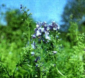 Синюха голубая (Polemonium coeruleum L.)