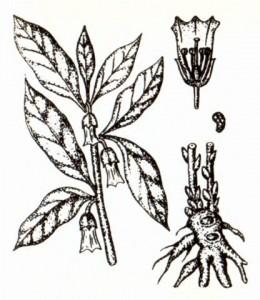 Скополия карниолийская (Scopolia carniolica Jacq.)