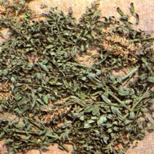 Софора толстоплодная (Sophora pachycarpa С. A.M.)