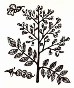 Софора японская (Sophora japonica L.)