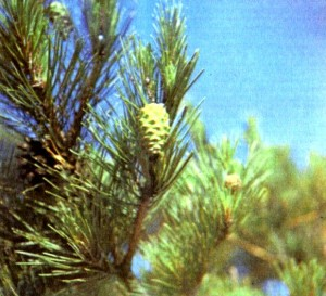 Сосна обыкновенная (Pinus silvestris L.)