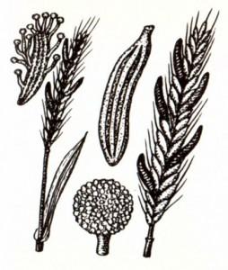 Спорынья (Claviceps purpurea Tulasne)
