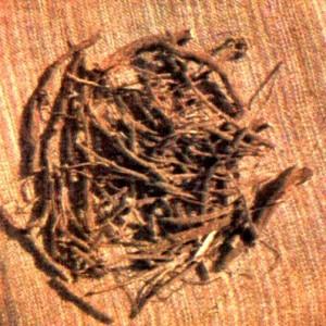 Стальник пашенный (Ononis arvensis L.)