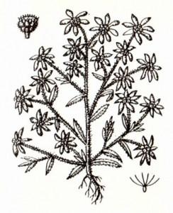 Сушеница топяная (Gnaphalium uliginosum L.)