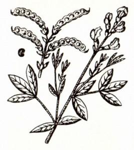 Термопсис ланцетовидный (Thermopsis lanceolata R. Br.)