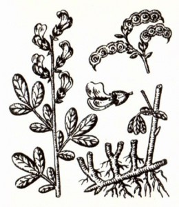 Термопсис очередноцветковый (Thermopsis alterniflora Rgl. et Schmalh.)