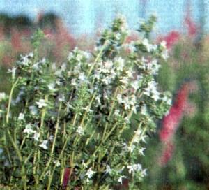 Тимьян обыкновенный (Thymus vulgaris L.)