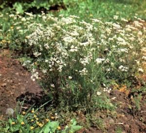 Тмин обыкновенный (Carum carvi L.)