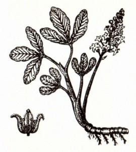 Трилистник водяной (Menyanthes trifoliata L.)