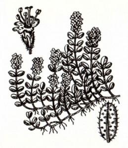 Чабрец (Thymus serpyllum L.)