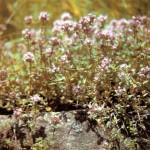 Чабрец (Thymus serpyllum L.), часть 2