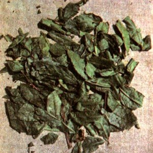 Чай китайский (Thea sinensis L.)