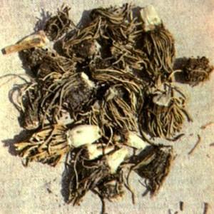 Чемерица Лобеля (Veratrum lobelianum Bernh.)