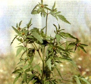 Череда трехраздельная (Bidens tripartita L.)