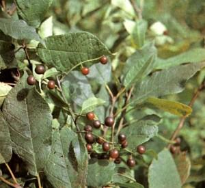 Черемуха обыкновенная (Padus racemosa Gilib.)