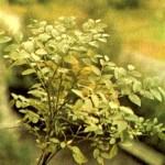 Черника обыкновенная (Vaccinium myrtillus L.), часть 2