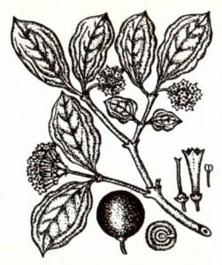 Чилибуха (Strychnos nux vomica L.)