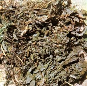 Чистотел большой (Chelidonium majus L.)