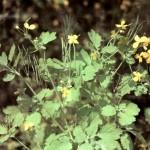 Чистотел большой (Chelidonium majus L.), часть 2