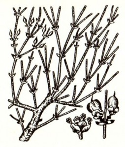 Эфедры хвощевая и средняя, или промежуточная (Ephedra equisetina Bge., Е. intermedia Schrenk.)