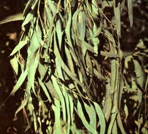 Эвкалипт прутовидный (Eucalyptus viminalis Labill.)