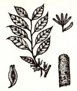 Эвкоммия вязолистная (Eucommia ulmoldes Oliv.)