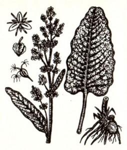 Щавель конский (Rumex confertus Willd.)