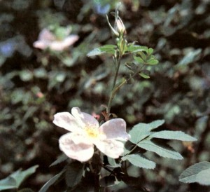 Шиповник майский (Rosa cinnamomea L.)
