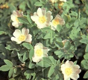 Шиповник собачий (Rosa canina L.)