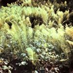 Щитовник мужской (Dryopteris filix mas Schott.)