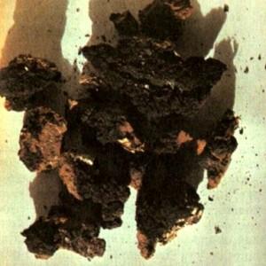 Трутовик косой (Inonotus obliquus Pil.)