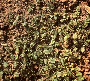 Якорцы стелющиеся (Тribulus terrestris L.)